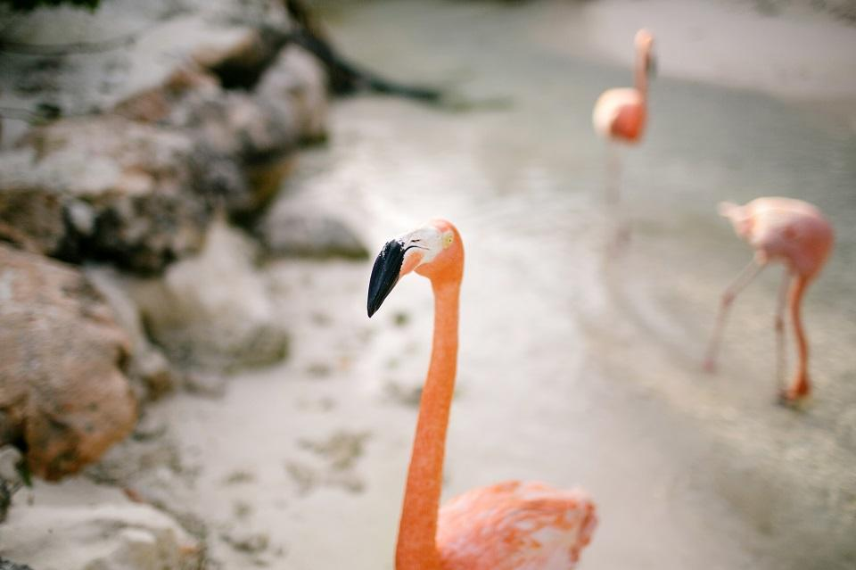 Aruba Beach Wedding | Renaissance Island's Flamingos | Beach Brides